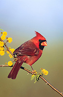 northern cardinal, Cardinalis cardinalis, male on blooming Huisache, Acacia farnesiana, Lake Corpus Christi, Texas, USA, North America