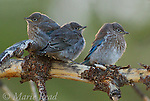 Mountain Bluebirds (Sialia currucoides), three fledglings, Parker Canyon, Mono Lake Basin, California, USA