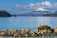 Bald eagle soars over Sitka Sound, Mount Edgecumbe,  southeast, Alaska