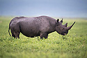 Female black rhino (Diceros bicornis) browsing on herbs. Ngorongoro Crater, Conservation Area, Tanzania. March 2017.