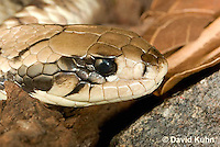 0504-1106  False Water Cobra (Rear-fanged), Detail of Head, Brazil, Hydrodynastes gigas  © David Kuhn/Dwight Kuhn Photography