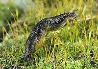 Slug - Arion hortensis