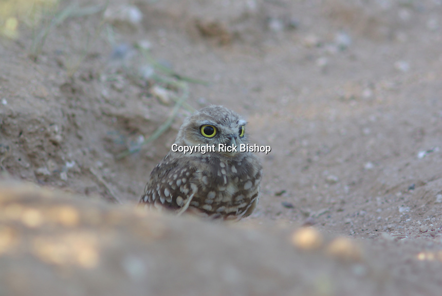 Burrowing Owl seen partly in the hole were it nests.