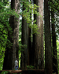 Redwood National Park, Hiker looking at Old Growth Redwoods, (woman 42 yrs old), Northern California                       MR
