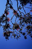 Inca Trail, Peru. View up through branches of Tree of Liberty with silhouetted leaves and branches and bright red flowers.