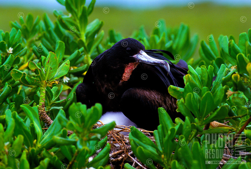 Great Frigate bird. Fregata minor.  Seen on all of the Hawaiian Islands but nests in the northwestern Islands.  Seen frequently at Kilauea Pt. National Wilrdlife refuge on Kauai.