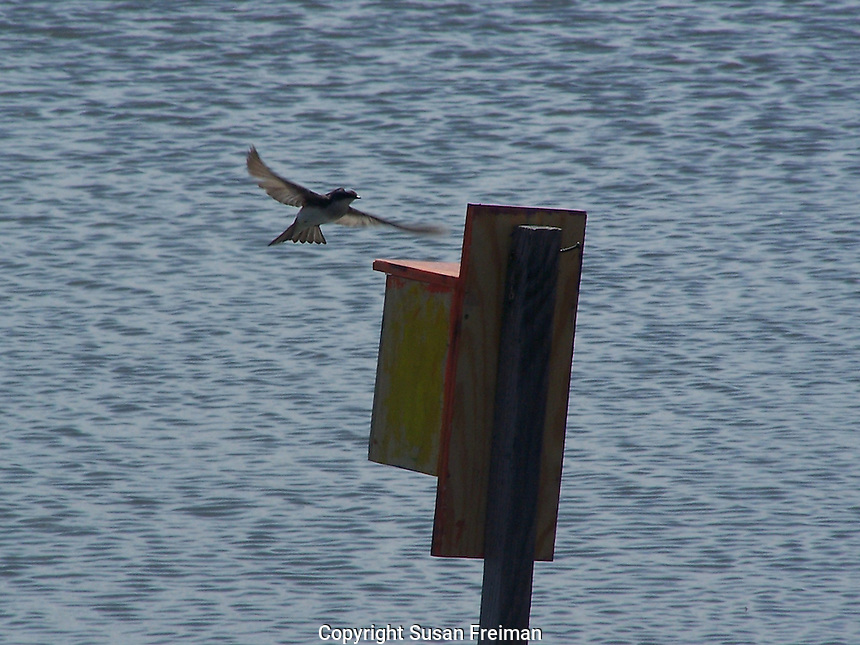 Tree swallow swoops in to land on a nesting box