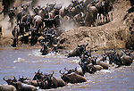 White-bearded wildebeest herd migrating across the Mara River, Kenya