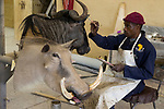 Blue Wildebeest (Connochaetus taurinus) trophy hunted animal being painted in taxidermy shop, South Africa