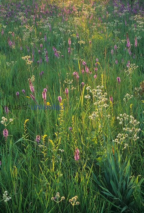 Tallgrass prairie wildflowers, including Prairie Blazing Star ,Liatris pycnostachya, and Rattlesnake Master ,Eryngium yuccifolium, Central USA.