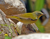Female Tennessee warbler in breeding plumage