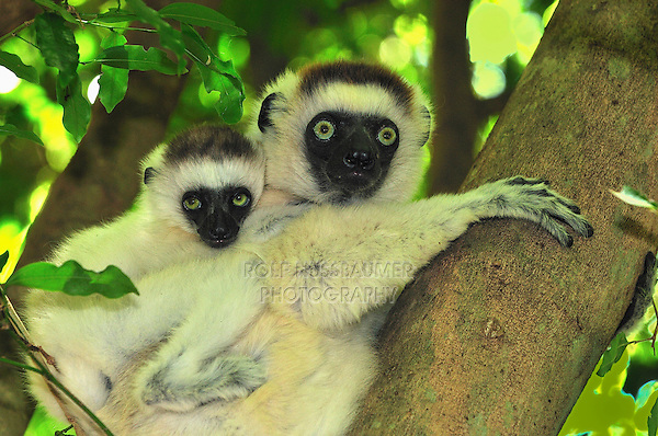 .Verreaux's Sifaka (Propithecus verreauxi),  female with young, Berenty Private Reserve, Madagascar