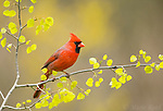 Northern Cardinal (Cardinalis cardinalis) male in early spring with newly-emerged poplar leaves, Freeville, New York, USA
