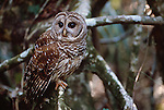 Barred Owl, Ding Darling National Wildlife Refuge, Florida
