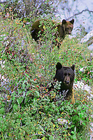 Black bear female with cub, Western U.S.