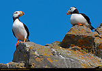 Horned Puffins, Duck Island, Puffin Island, Tuxedni Bay, Cook Inlet, Alaska