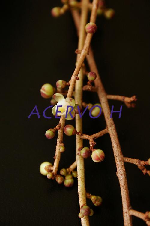 Flor de andiroba.<br /> <br /> O óleo de Andiroba é uma fonte rica de ácidos gordurosos essenciais inclusive oléico, palmítico, mirístico e ácidos de linoléico além de conter componentes não graxos como triterpenos, taninos e alcalóides isolados, como a andirobina e carapina. A amargura do óleo de andiroba é atribuída a um grupo de terpenos chamados de meliacinas, que são muito semelhante às químicas amargas de antimalaria. Recentemente, uma destas meliacinas, chamada gedunina, foi documentada com propriedades antiparasiticas e antimalariais com efeito semelhante a quinina. Análises químicas de óleo de andiroba identificaram as propriedades antiinflamatórias, cicatrizantes e insetífugas que são atribuídas à presença de limonoides, nomeado de andirobina. Principalmente, depois do patenteamento de um creme hidratante e anticelulite à base de óleo de andiroba pela francesa Yves Rocher houve uma grande procura do óleo de andiroba no mercado de cosméticos. A vela de andiroba é usada como repelente eficaz para o mosquito Aedes aegypti, vetor da febre amarela e da dengue. À ser queimada, exala um agente ativo que inibe a fome do mosquito, conseqüentemente, reduz a sua necessidade de picar as pessoas. Pesquisas revelaram uma eficiência de 100% na repelência do mosquito, resultado jamais encontrado em qualquer outro produto existente no mercado destinado ao combate do mosquito. Além desta característica, a vela é totalmente atóxica, não produz fumaça e não contém perfume.<br /> <br />  Pará, Brasil.<br /> Foto Mário Guerrero<br /> 2006