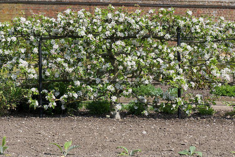 Espalier-trained 'Lord Lambourne' apple tree, late April.