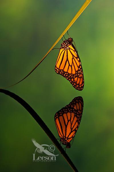 Monarch butterfly (Danaus plexippus) reflection.