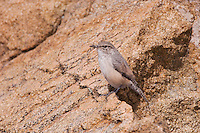 Rock Wren, Salpinctes obsoletus, adult, Rocky Mountain National Park, Colorado, USA