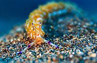 Pteraeolidia Ianthina nudibranch, Bitung, Lembeh Strait, North Sulawesi, Celebes Sea, Indo-Pacific, Indonesia