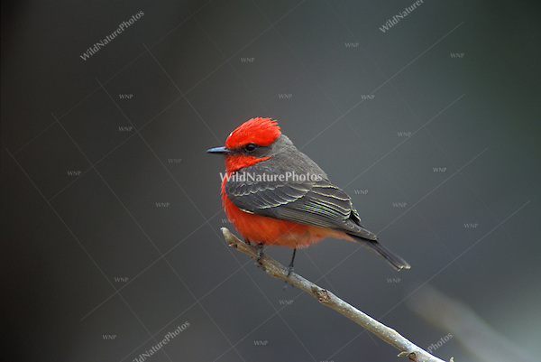 Vermilion Flycatcher perched