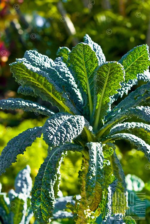 Lacinato kale in an organic garden