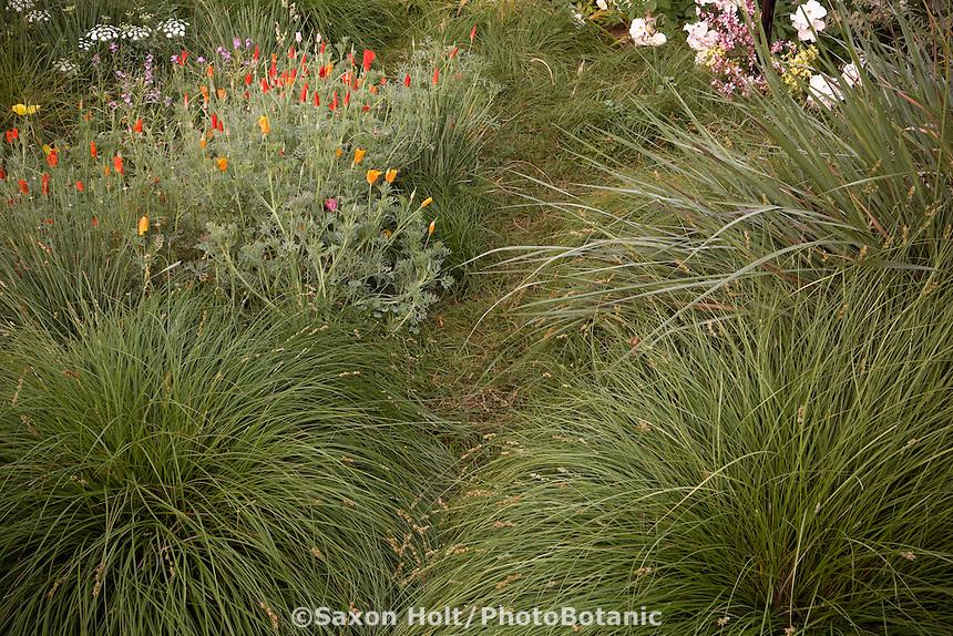 Narrow grassy sedge path of Carex pansa between larger Carex divulsa, poppies and Tripsacum dactyloides in backyard meadow garden