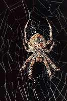 370000012 a wild female orbweaver spider araneaus ssp. sits on her web at night in los angles county california