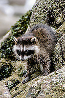 Racoon, Olympic National Park, Washington