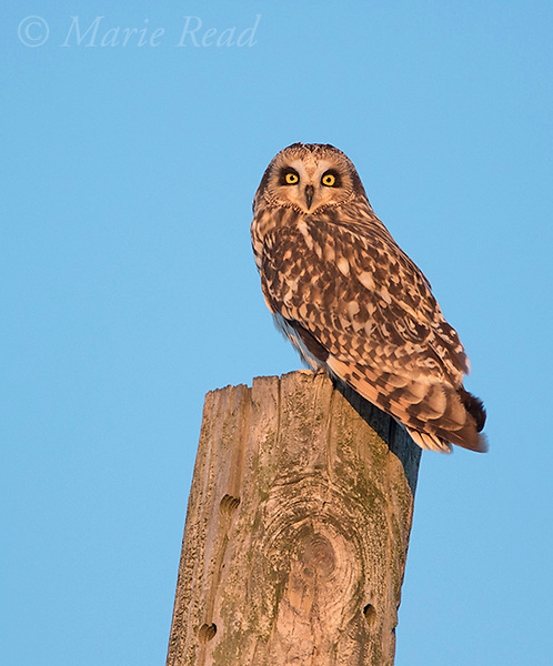 Short-eared Owl (Asio flammeus), perched on top of telephone (utility) pole, winter, New York, USA