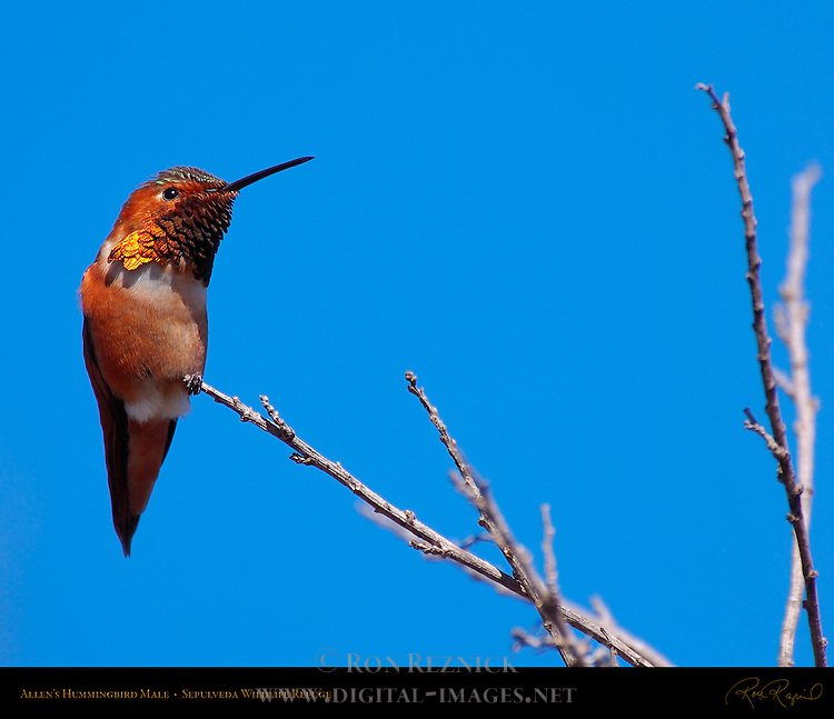Allen's Hummingbird Male, Sepulveda Wildlife Refuge, Southern California