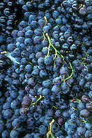 Fredonia Grapes (Vitis) black seedless grape variety many picked fruits harvested, Vitis riparia X x Vitus labrusca.