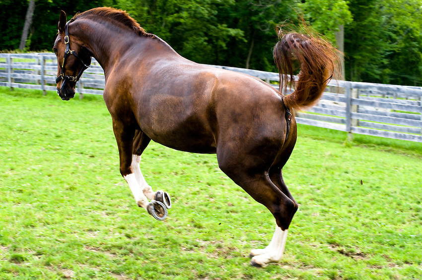 A horse jumps in a field at a barn in Brewster, New York.
