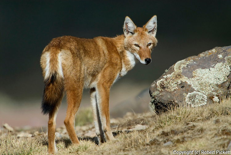Ethiopian wolf, Canis simensis, Bale Mountains National Park, Sanetti Plateau, Ethiopia, Endemic, Abyssinian wolf, red jackal, red fox, Simien fox, Classified as Endangered on the IUCN Red List 2004, most threatened canid in the world, only wolf species to be found in Africa