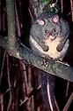Bobuck or Mountain Possum (Trichosurus cunninghamii) Steavenson Falls, Marysville, Victoria