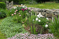 Fragrance Garden of Peonies and Scented Dianthus, with Digitalis, Lamb's ears, poppies, stone wall, garden gate fence
