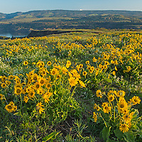 Spring flowers above the Columbia River, Oregon