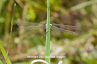 06496-00213 Arrowhead Spiketail dragonfly (Cordulegaster obliqua) female in fen, Reynolds Co., MO