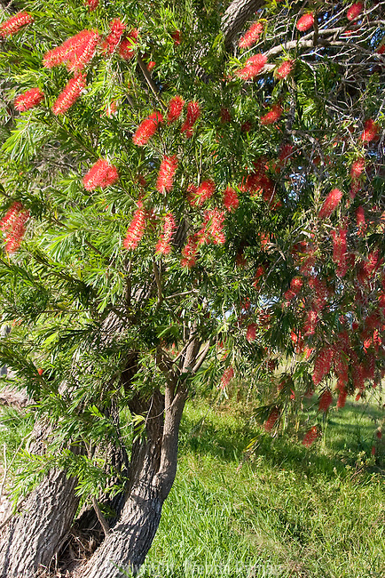 The bottlebrush tree is a spectacular evergreen tree.
