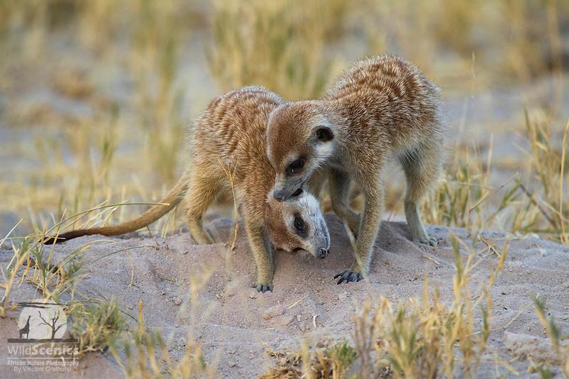 Meerkats allogrooming