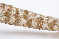 Tail end of sloughed adder skin (Vipera berus).