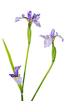 30099-00108 Blue Flag Iris (Iris versicolor) with white background, Marion Co., IL