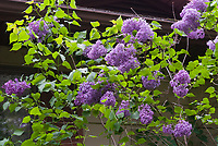 Syringa vulgaris hybrid, fragrant lilac in spring bloom