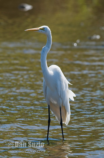 Great egret, Ardea alba, at the shore of the Tarcoles River, Costa Rica