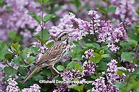 01575-01901 Song Sparrow (Melospiza melodia)  singing on Dwarf Korean Lilac Bush (Syringa meyeri 'Palibin'), Marion Co., IL