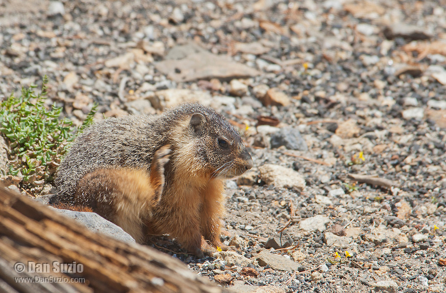 Yellow-bellied marmot, Marmota flaviventris, scratching its neck with its hind leg. Near Silver Lake, Sierra Nevada, California
