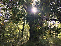 The Knightwood Oak, the oldest oak tree in the New Forest.<br /> The New Forest, Hampshire, England on October 09, 2018.<br /> CAP/GOL<br /> ©GOL/Capital Pictures