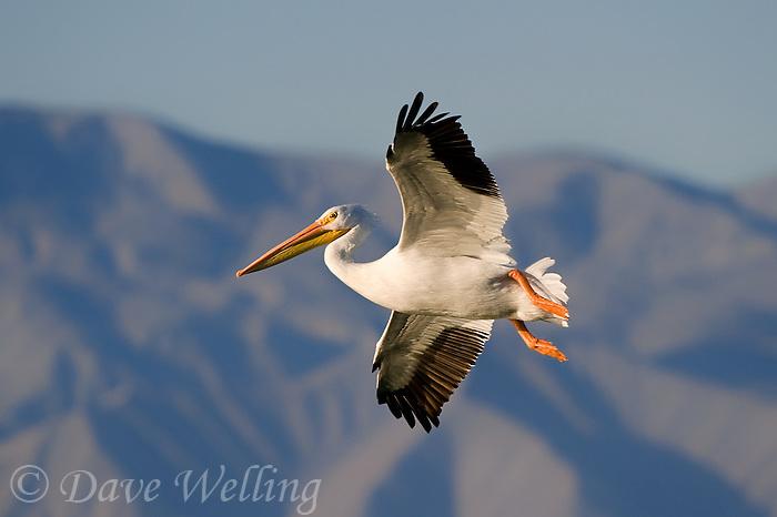 570040015 a wild white pelican pelecanus erythrorhynchos flies over the salton sea national recreation area in southern california
