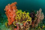 A carpet of yellow sea cucumber (Colochirus robustus) in the reef.North Raja Ampat, West Papua, Indonesia